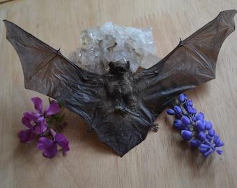 Dried Lesser Bamboo Bat Specimen (tylonycteris pachypus)
