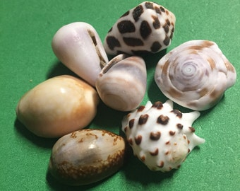 Adorable misc. shell lot. Hand picked on Big Island of Hawaii
