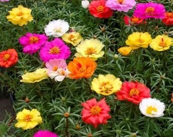 Portulaca Grandiflora - Moss Rose Double Mix (1000 SEEDS)