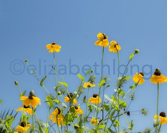 Yellow Coneflowers - Flowers - Yellow and Blue Photo - 8x10 Digital Download