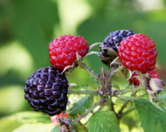 Blue Raspberry Fragrant Oil   Phthalate Free