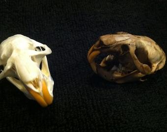 Muskrat Skulls  set of 2