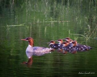 Merganser Photo, Duck Photograph, Wildlife Photo, Animal Print, Bird Photography, Wildlife, Nature Photography 11 x 14 Print or Framed