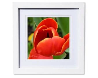 Red Tulip Photo Print or Canvas