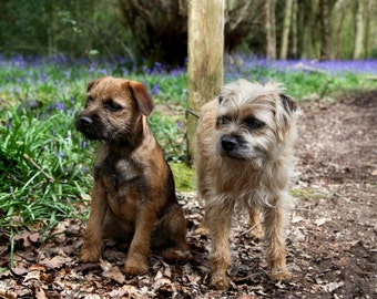 Border Terrier - Bluebell Wood greetings card