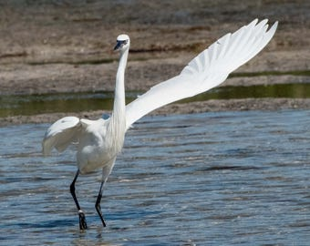 I Have A Question - Snowy Egret