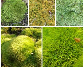 Live moss sample pack quart bag terrarium, wedding decor, instant green landscape, fairy garden FREE SHIP USA