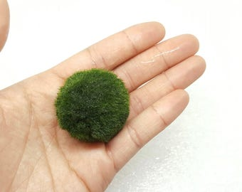 XLarge 3-4cm Marimo Moss Ball for Terrarium Planted Tanks Live Aquarium Decor Shrimp Fish