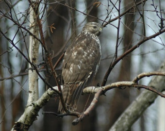 Red Tail Hawk in nature