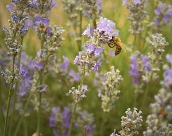 Lavender fields - canvas