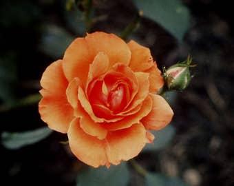 CORAL ROSE - photo print
