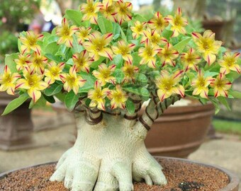 Desert rose bonsai   Etsy