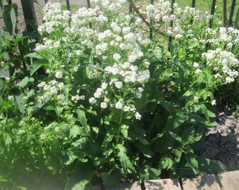 HORSERADISH naturally DRiED flower and leaf  STEMS BUNCHES