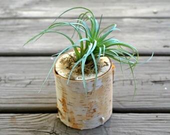 Air Plant - Succulent - Birch Wood - Artificial Air Plant - Faux Succulent Plant - Indoor Planter - Unique Gift Idea