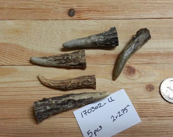 Gnarly Deer Antler Points Tips- 2-2.75 inches- 5 pcs- Lot No. 170302-U