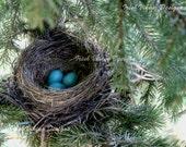 Robins Nest, nature photography, birds nest, pine tree, nursery art, rustic print, bird eggs, woodland decor, housewarming, bird nerd gift