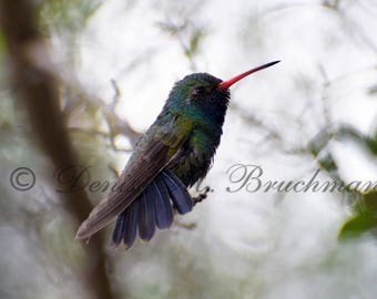Hummingbird Photos - Broad-billed Hummingbird Photo - Blue Green Hummingbird - Desert Hummingbird - Hummingbird Art - Photos of Hummingbirds