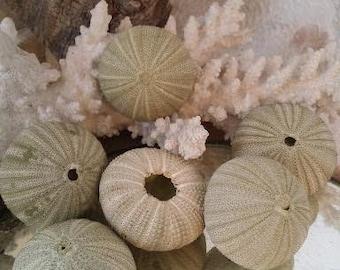 Green Sea Urchin Shells Loose Sea Life Supplies Coastal Decor Arts Crafts Urchin Pastel Seashells Beach Decorating DIY arrangements