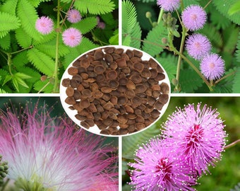 Sensitive Plant (Mimosa Pudica) Kit - Just Add Water!