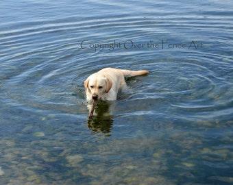 Dog Photo Card Labrador Swims with  Stick Dog Photography