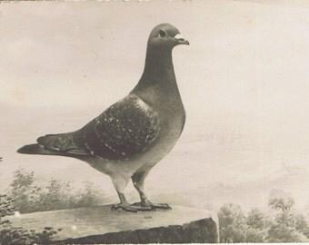 Antique Vintage Racing Pigeon Real Photo Postcard Belgium? Animal Bird Ornithology Natural History Sports Ephemera