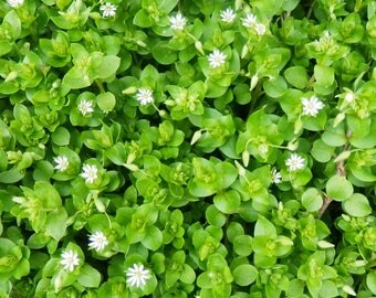 Wild Harvested Chickweed Herb