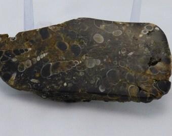 Turritella agate slab specimen TAS001