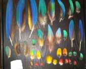 Macaw Parrot Feathers !  ( 25) assorted macaw parrot feathers )