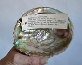 Vintage Pink Abalone Shell - Haliotis Corrugata