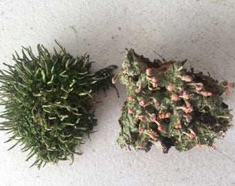 Fresh Live Pink Earth Lichen and Pityrea Cladonia Combo - Wonderful Color Mix!