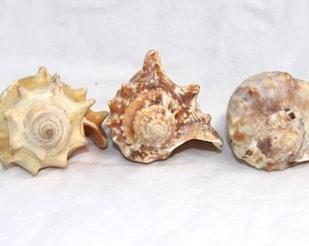 Snail Shell Set - Vintage Seashell Assortment - Ocean Crafting - Nautical Shells