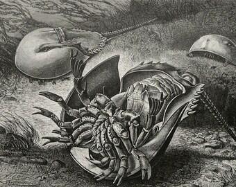 1890 Antique print of CRABS. Crustaceans. Seashells. Sea Life. Marine animals. 127 years old plate.