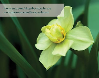 Daffodil Fine Art Photo Print