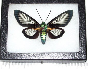 REAL framed day flying moth butterfly metallic green wasp mimic cocytia d'urvillei hummingbird moth