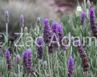 Lavender Digital Download, Flower Photography, Wall Art