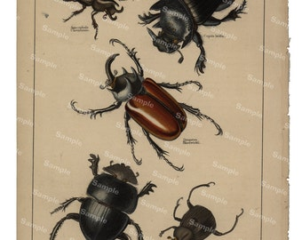 Gorgeous  Natural History original hand colored print of Beetles over 150 years old Rare find