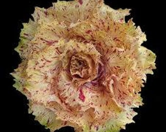 VLR) VARIEGATA di Castelfranco Radicchio~Seeds!~~~~Belongs in the Flower Bed!