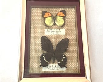 Real Framed Butterfly Shadowbox, Butterflies Taxidermy, Yellow Orange Tip, Ixias Pyrene Insignis, Common Mormon, Papilio Polytes Polytes