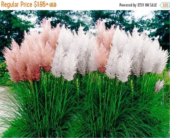Pampas grass mix cortaderia selloana fast by caribbeangarden for Quick growing ornamental grasses