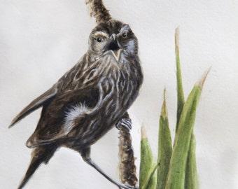 Female Red-winged Blackbird print