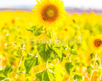 Yellow Sunflower Field France Summer Photography Print - Various Sizes