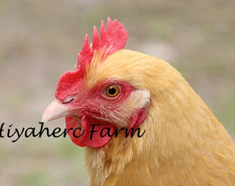Chicken Photograph MISS DAISY Farm Photography Animal Photography Baby Children Gift Matted Photograph Wall Art Home Kitchen Baby Decor