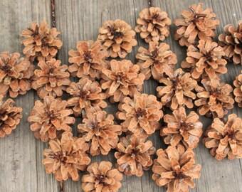 25 Austrian Pine Cones
