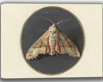 Jan Augustin van der Goes: Owlet Moth. Fine Art Canvas. (04067)