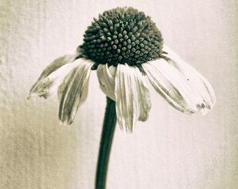 Daisy, A4 photography print floral sepia