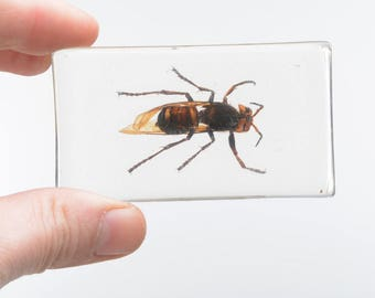 Insect taxidermy, wasp taxidermy, insects in resin, taxidermy,
