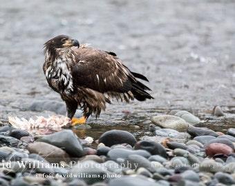 Juvenile Eagle Taking a Break. Bald Eagle, Wildlife Photography, Bald Eagle Photo, Eagles, Bird Photography, Photography