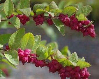 Coralberry Bush Seeds (Symphoricarpos orbiculatus) 30+Seeds