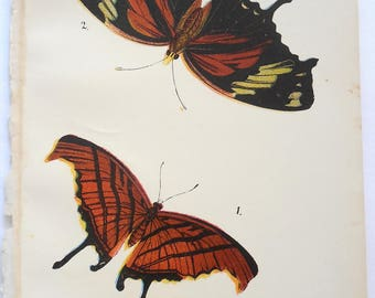 Butterfly Antique Lithograph. Colorful, 1896 Original Natural History. From Kirby's Lepidoptera. Marpesia Peleus and Protogonius Fabius