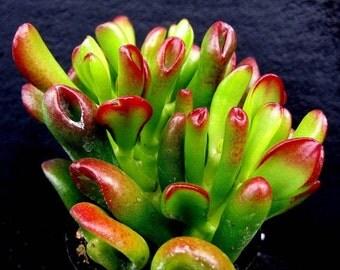 Hobbit Jade Plant - Crassula Ovata - 2.5 inch pot